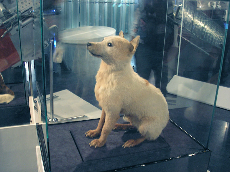 800px-Belka.Space_dog